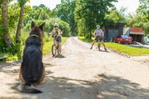 Vācu aitu suns sēž un skatās uz Ginteru un viņa māsu rotaļājamies ar velosipēdiem uz ceļa